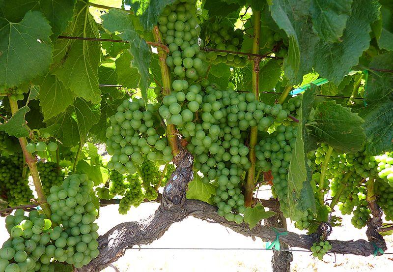 06 grapes in napa